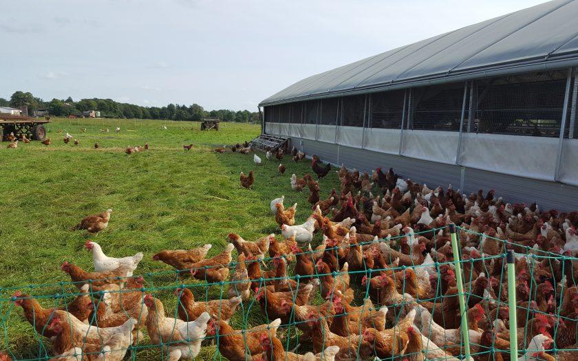 Hühner-von-Gutshof-Wulksfelde-Gröön-Schnack