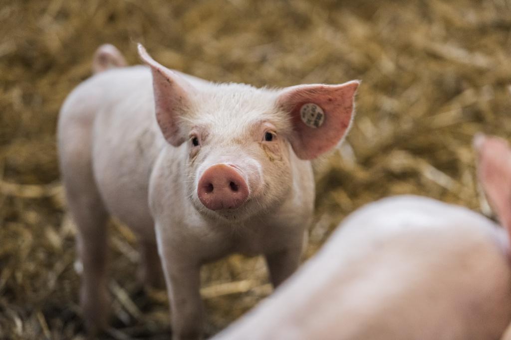 Strohschweine Transgourmet Ursprung - Hendrik Haase