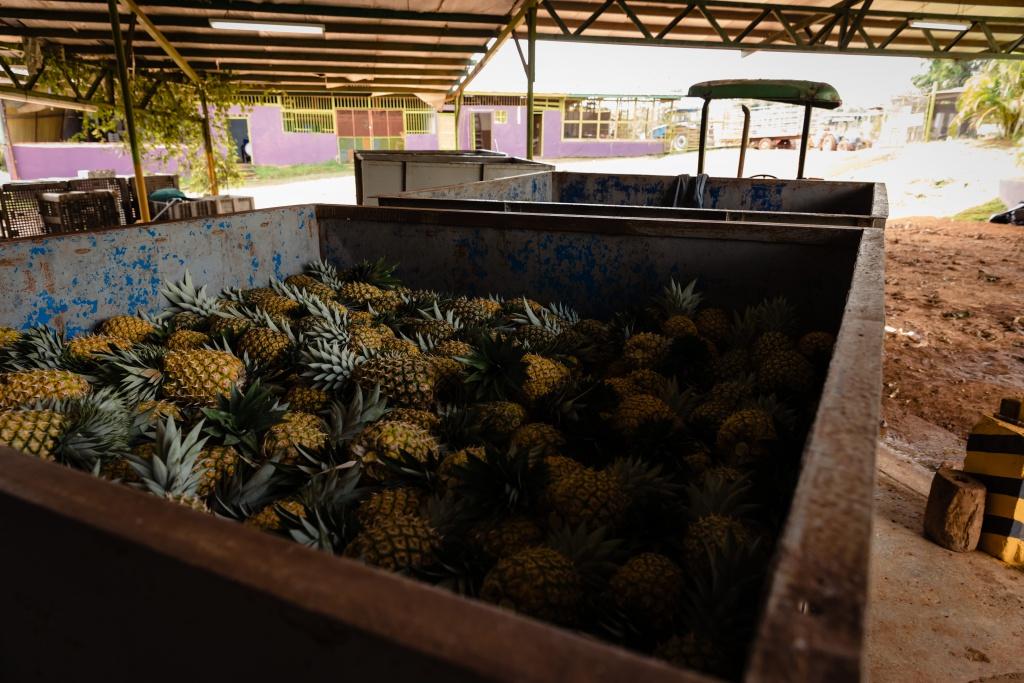 Neben der Cobia-Zuchtanlage haben die reisefreudigen Panamabesucher auch eine Ananasfarm besichtigt. (lvf photography