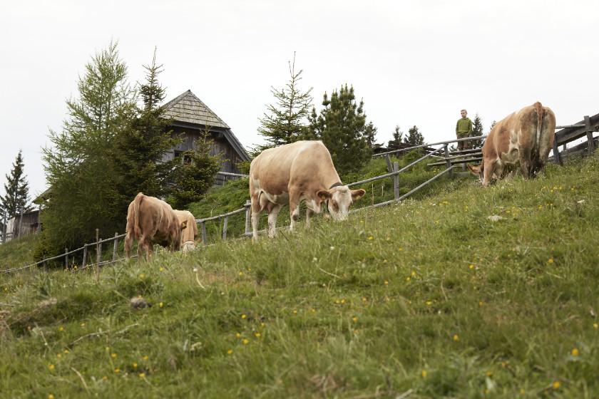 Das Leben der Almrinder unterscheidet sich enorm von dem ihrer Artgenossen aus klassischer Stallhaltung.