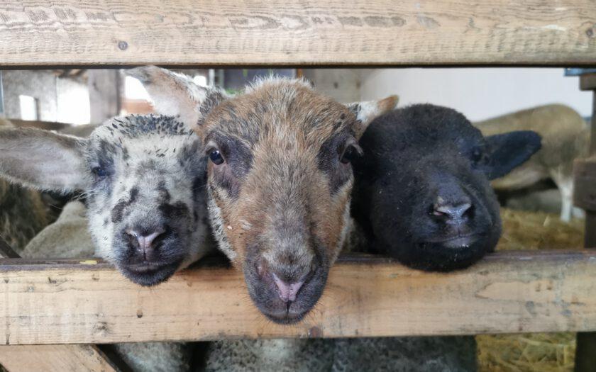 Im Schafstall - mehr Tierwohl durch artgerechte Haltung